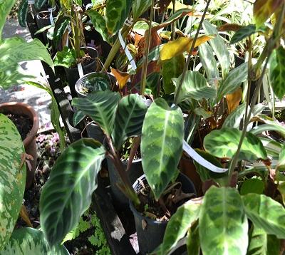 Calathea zebrina SPP- Calathea