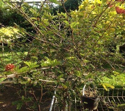 Calliandra tweedii - Calliandra rouge nain