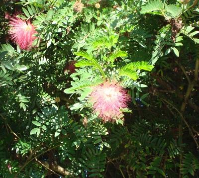 Calliandra haematocephala - Calliandra rouge