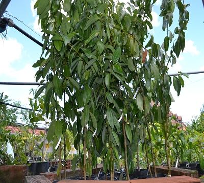 Cinnamomum spp - Canneliers