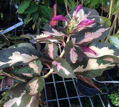 Graphtophyllum pictum - Caricature marron glacé-vieux rose