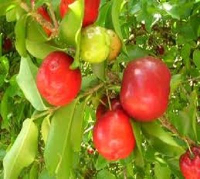 Malpighia emarginata  - Cerisier pays