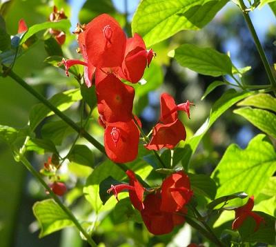 Holmskioldia sanguinea - Châpeau chinois rouge