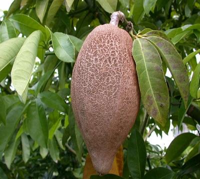 Pachira aquatica - Chataigner marron