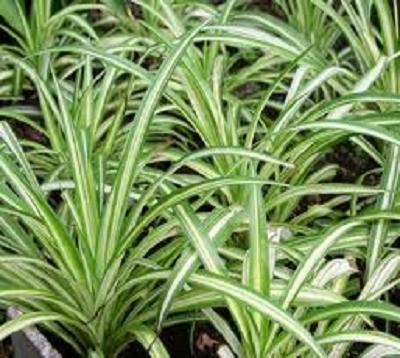 Chlorophytum comosum - Chlorophytum