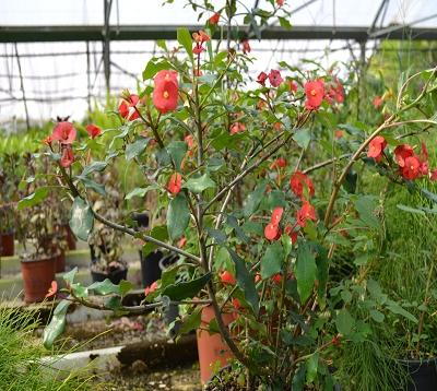 Euphorbia geroldii - Epines du Christ sans épines
