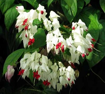 Clerodendrum thomsonae - Clerodendron thomsonae