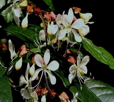 Clerodendrum wallichii - Clerodendron wallichi
