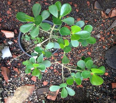 Clusia rosea nana - Clusia rosea nana