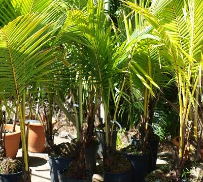 Cocos nucifera - Cocotier