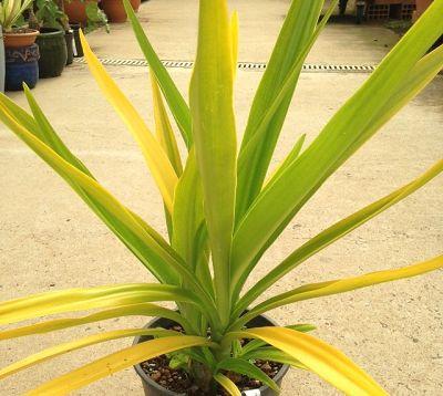 Crinum xanthophyllum - Crinum jaune