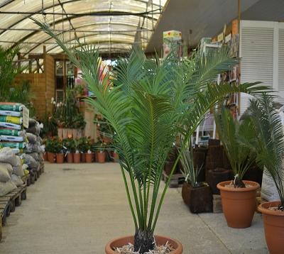 Cycas circinalis - Cycas circinalis - Faux rameaux