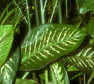 Dieffenbachia amoena - Dieffenbachia amoena