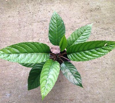 Dorstenia elata - Dorstenia Congo Fig