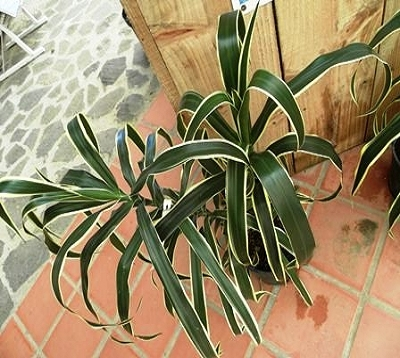 Dracaena angustifolia honoriae - Dracaena  pleomele