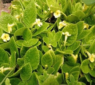 Episcia cupreata - Episcia jaune