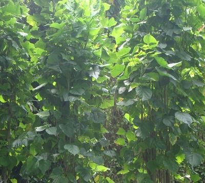 Erythrina indica - Erythrine de haie