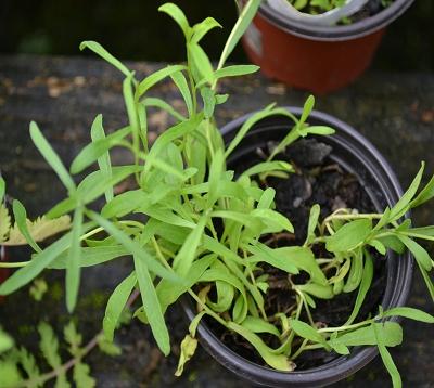 Artemisia dracunculus - Estragon