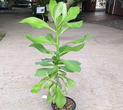 Euphorbia umbellata - Synadenium grantii
