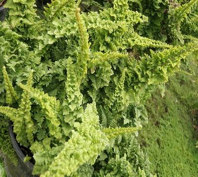 Nephrolepis exaltata norwoodii - Fougère frisée
