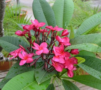 Plumeria rubra - Frangipanier arbre
