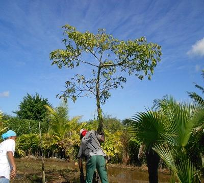 Ceiba pentendra - Fromager