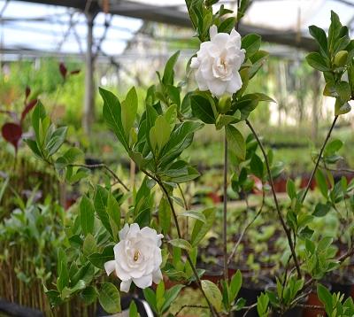 Gardenia - Gardenia