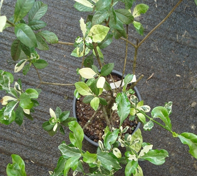 Gardenia - Gardenia panaché