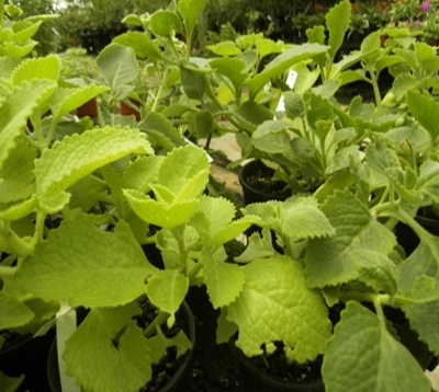 Plectranthus aromaticus - Gros thym