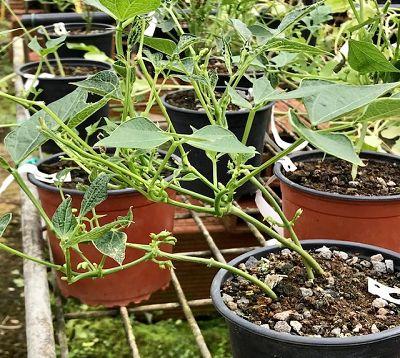 Phaseolus vulgaris - Haricot vert nain