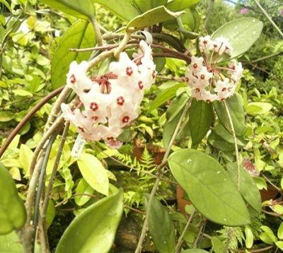 Hoya carnosa - Hoya carnosa