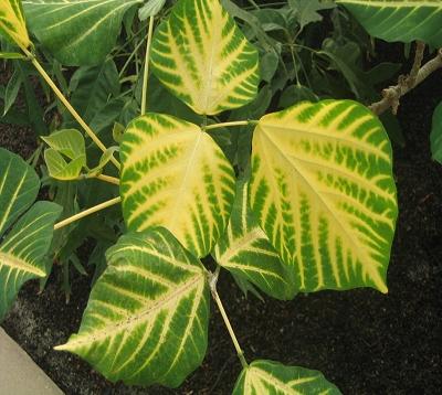 Erythrina variegata - Immortelle