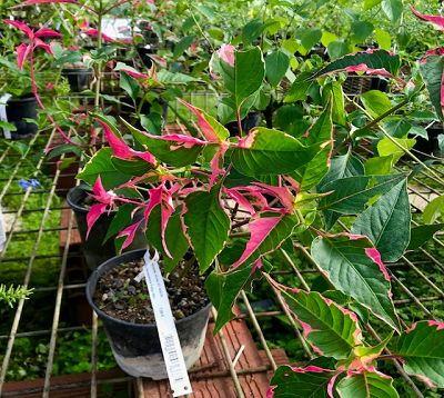 Iresine herbstii - Irésine rose et verte