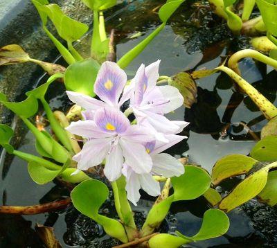 Eichhornia crassipes - Jacinthe d'eau