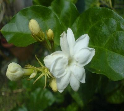 Jasminum sambac - Jasmin sambac