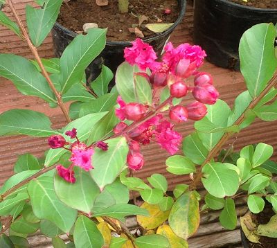 Lagerstroemia indica nana - Lagerstremia super nain fushia - Lilas d'Inde nain fushia