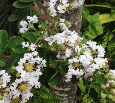Lagerstroemia indica - Lagerstremia blanc - Lilas d'Inde blanc