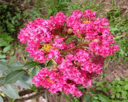 Lagerstroemia indica - Lagerstremia fushia - Lilas d'Inde