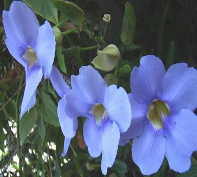 Thunbergia grandiflora - Liane bleue