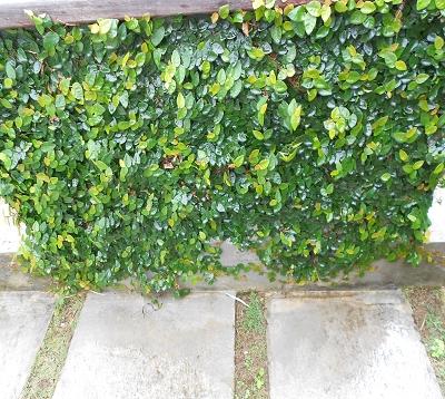 Ficus repens - Lierre-pays