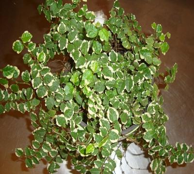 Ficus repens  - Lierre-pays panaché