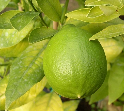 Citrus aurantifolia Var. latifolia - Lime sans épine