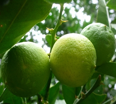 Citrus aurentifolia - Lime Tahiti