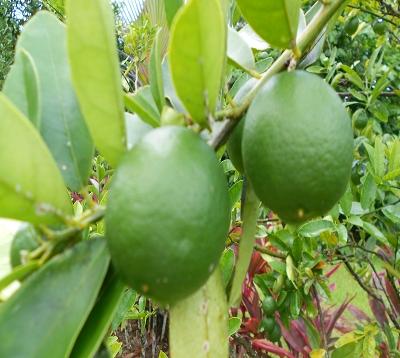 Citrus aurantifolia X fortunella - Limequat eustis - Citron punch