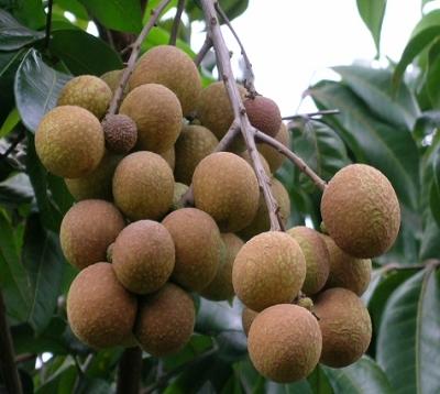 Dimocarpus longan - Longan