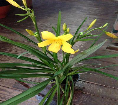 Lilium longiflorum - Lys jaune