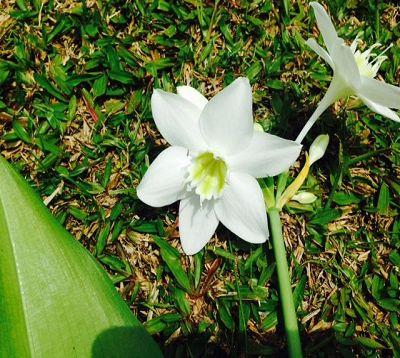 Eucharis grandiflora - Lys de la Vierge