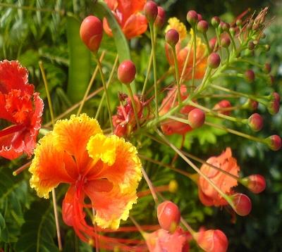 Caesalpinia pulcherrima - Macata - Flamboyant nain