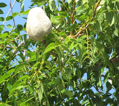 Swietenia mahogani - Mahogany petites feuilles