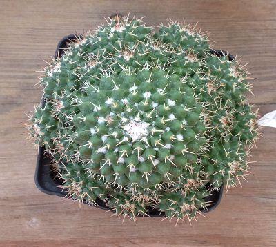 Mammillaria magnimamma - Cactus mammillaria magnimamma